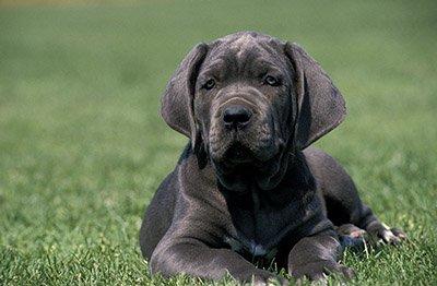 Neapolitan Mastiff puppy laying in the grass